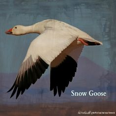 December 14, 2015 Totem Card of the Day - Snow Goose :http://bearmedicinewalker.com/2015/12/14/december-14-2015-totem-card-of-the-day-snow-goose/