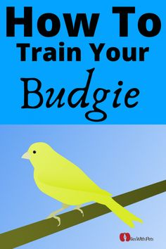 How To Train Your Pet Budgie - Easy Steps to Train Budgerigars - Miles with Pets Best Pet Birds, Pet Bird Cage, Pet Guinea Pigs, Creature Of Habit, Bird Aviary, New Environment, Budgies, How To Train Your, Pet Shop