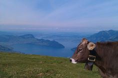 Sonnenwochenende in Seelisberg Seen, Cow, Animals, Parapente (paragliding), Small Places, Beautiful Places, Switzerland, Hiking, Pictures