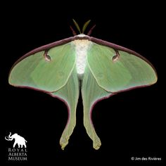 An exhibition at the American Museum of Natural History shows that the moth can give the butterfly a run for its money. Moth Species, Sphinx, Tiger Moth, Beautiful Bugs, Amazing Nature, Natural History, Beautiful Creatures, Pet Portraits, Exotic