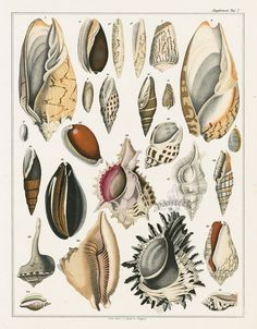 Shells from Antique Fish & Shell Prints by Oken