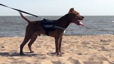 Pitbull training on the beach Pitbull Dog Breed, Pitbull Terrier, Pitbull Training, Nanny Dog, Farm Dogs, Different Dogs, Photographs Of People, Family Dogs, Watch V