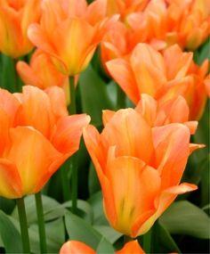 Tulip Apricot Emperor - Emperor Tulips - Tulips - Fall 2015 Flower Bulbs