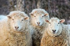 Ewes, Sheep, winter, portrait,rustic,wool, yarn, knit, photograph...