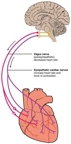 Cardiac Physiology · Anatomy and Physiology Cardiac Muscle Cell, Broken Heart Syndrome, Heart Anatomy, Cardiac Nursing, Heart Function, Autonomic Nervous System, Vagus Nerve, Heart Muscle, Physical Therapy