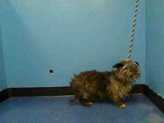 SAFE --- URGENT - Manhattan Center   JAZZ - A0986172   UNKNOWN GENDER, BROWN / GRAY, NORWICH TERRIER MIX, 2 yrs  STRAY - STRAY WAIT, NO HOLD Reason STRAY  Intake condition ILLNESS Intake Date 11/29/2013, From NY 10473, DueOut Date 12/02/2013  https://www.facebook.com/photo.php?fbid=676234402389442&set=a.674535855892630.1073742401.152876678058553&type=3&permPage=1#!/photo.php?fbid=717097894969759&set=pb.152876678058553.-2207520000.1385763285.&type=3&theater