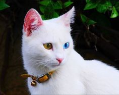 Turkish breed cat from Van , (One Eyes Blue And Other Eyes Yellow) #Van, #Turkey #seeyouturkey #travel #vacation #türkei #tурция #turquie #turchia #turquía #تركيا #トルコ #旅行 #travel #travelling #vacaturkey #travelguide #trip #photography #写真撮影 #سفر #reisefotografie #reise #voyager #trip