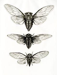 "mirandamontes: "" Cicada studies Ink Miranda Montes """