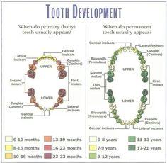 Baby teeth eruption chart http://www.essentialbaby.com.au/baby ...