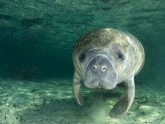 The west indian manatee is one of the most beloved animals in Florida. Migrating to warmer water in winter, and often hanging around marinas, manatees are rumored to have been mistaken for mermaids by weary sailors of the past.