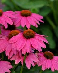 """Coneflower, 28-40"""", Daisy-type flowers.  The petal rays droop from the large conical crown.  Blooms summer to fall.  'Magnus' purple, 'White Swan' white, 'Harvest Moon' yellow/orange, 'Green envy' lime green, 'Pow Wow Wildberry' shown above"""