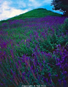 Summer Prairie Wildflowers in Afternoon Light, Iowa Loess Hills, Iowa