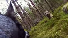 Watch A Dog Battle Two Wolves