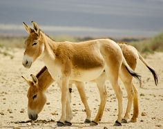 Great, great, great, great, grand donkey children...  Onager -Israel