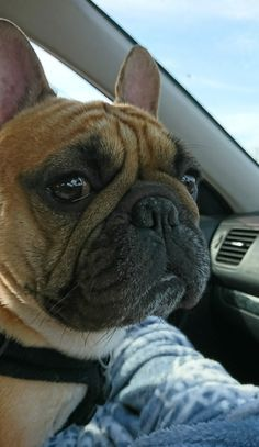 Passionate Healthy Males And French Bulldogs Puppies Text Only 443