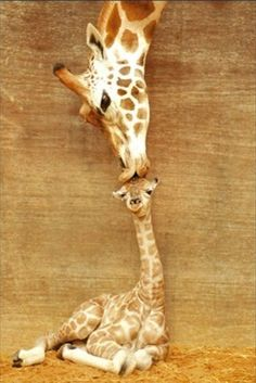 The giraffe mother's tender kiss.    DAWWWWW!! LET ME SQUEEZE YOU!