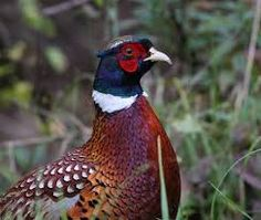 Image result for pheasants