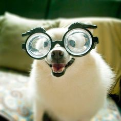 A white, happy dog wearing thick glasses with eyebrows attached.