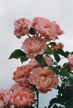 .These are old fashioned Roses. My plant is beautiful and 12 years old.