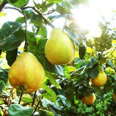 Picking quinces...
