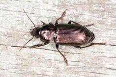 Anisodactylus poeciloides Saltmarsh Shortspur Beetles, Insects, Animals, Animales, Animaux, Animal, Animais