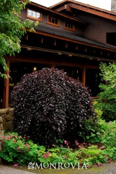 Weeping Purple Beech Tree Care Provided For Consumer Information Monrovia Is Not Curly Growing Outdoorsy Garden Trees