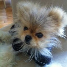 Giggy the Pom From The Real Housewives of Beverly Hills - cutest wee pup ever