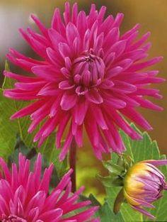 img/dessins couleur fleurs/dessin botanique de fleur 0207 dahlias