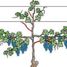 Weinreben am Spalier im Sommer schneiden