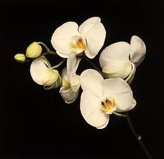Robert Mapplethorpe, Orchids, 1989