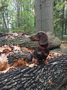 What Ever FBP alias Baileys Daschund, Dachshund Love, Thai Chi, Flying Dog, Miniature Dachshunds, Sausage Dogs, National Cemetery, Wiener Dogs, Bramble