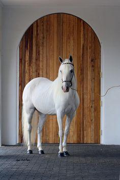 White Paso Fino horse