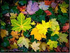 Drab-Day-2 The leaves are now falling off the trees in good numbers but even on a dull drab November day we can still enjoy a be-jewelled carpet of leaves on the woodland floor……