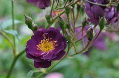 Violette Rose - Roses Forum - GardenWeb