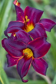 Burgundy Velvet Lilies