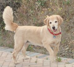 My 12 year old golden retriever Ally. I just adore her.-Lanie