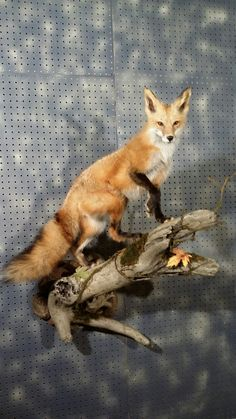 Red Fox -wall mount, Fur, Feathers, and Fins Taxidermy