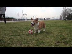 Soccer Corgi. This little Corgi is so funny while playing with a soccer ball.