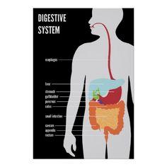 El sistema digestivo humano y los órganos que contiene.