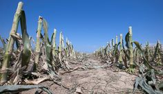 U.S. Sees Food Prices Rising From Severe Drought (NYTimes.com). Photo: Rows of corn stalks in a field south of Blair, Neb., this week. The drought-damaged field was cut down for silage. Credit: Nati Harnik/Associated Press