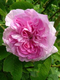 'Ypsilanti Rose' | Gallica / Provins Rose.  Jean-Pierre Vibert, 1821 | Flickr - ©  Charles Dean