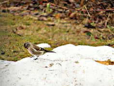 March 14, 2013: Can't help but think the poor darlin'  (house finch) looks tired and sleepy in Juneau, Alaska...