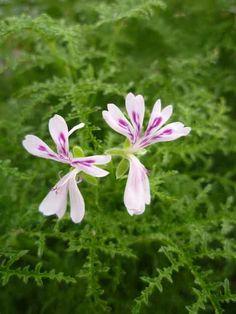 Fillicifolium