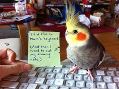 "Previous pinner says: Parrot shaming. Yes, my cockatiel tries to pry off my keys too, if I'm spending too much time on the computer. I've also used the excuse, ""But my bird ate my homework before! I Like Birds, Cute Birds, Little Birds, Funny Birds, Cute Funny Animals, Funny Parrots, Crazy Bird, Dog Shaming, Tier Fotos"