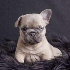 Pin By Tarenda Sikes On Frenchies French Bulldog Animals Dogs