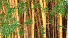 Bambuzal. #aspectoambiental