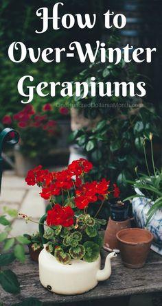 How to Over-Winter Geraniums, Growing Geraniums, Gardening Tips, Winter Gardening