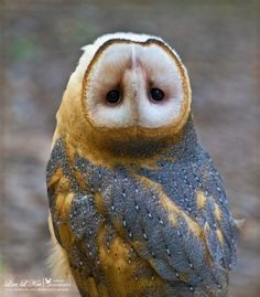 "All owls can easily do the, ""rotating head"" trick."