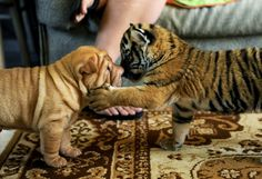 A newborn tiger meets its new family: a tigress from a zoo in Sochi, Russia refused to feed her offspring, and two newborn tigresses were handed over to Cleopatra, a Shar-Pei dog owned by two zoo workers.
