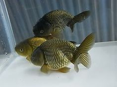Bronze ranchu goldfish